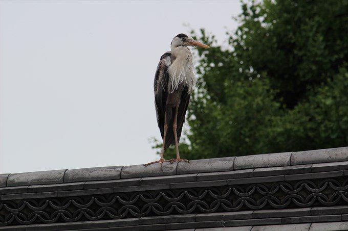 37屋根に止まっていた鳥