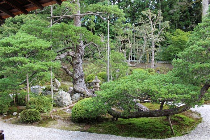 15樹齢400年の松