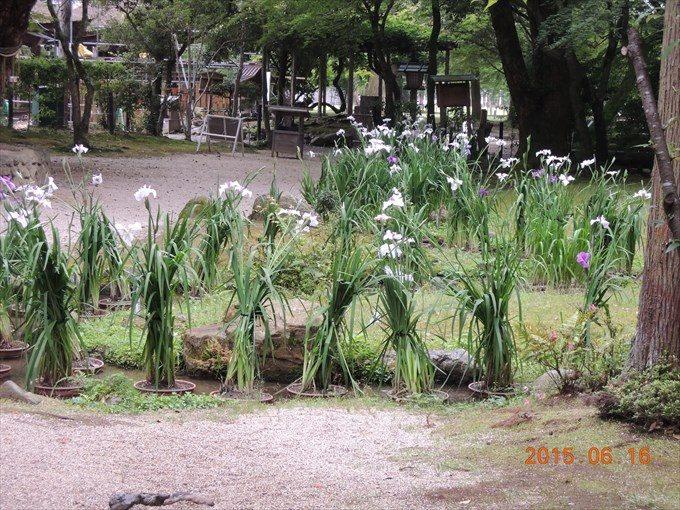 36花菖蒲3