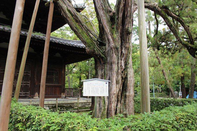 12大徳寺のイブキ