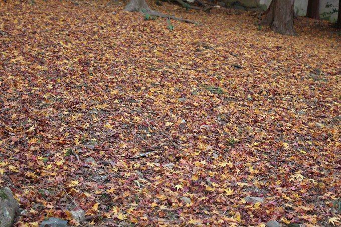 13付近の散り紅葉