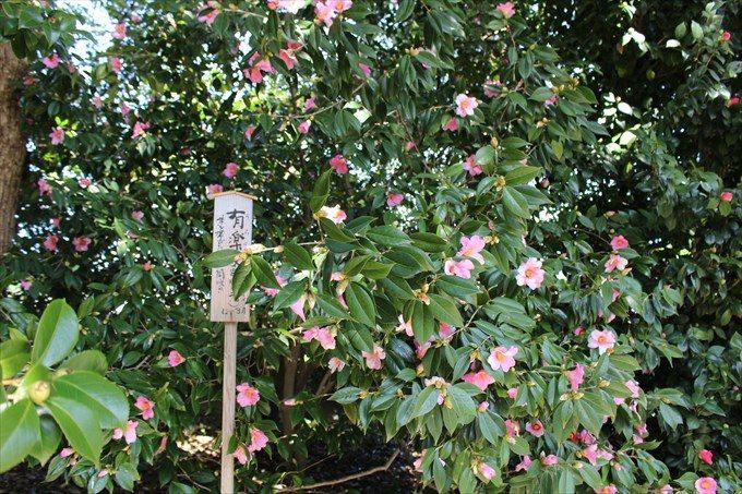 39ピンクの椿