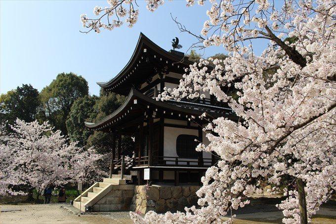 19観音堂(大悲閣)と桜