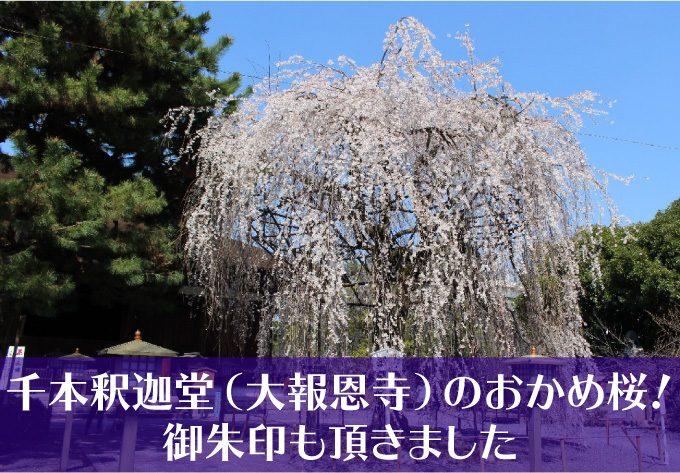 千本釈迦堂大報恩寺の桜タイトル用-01