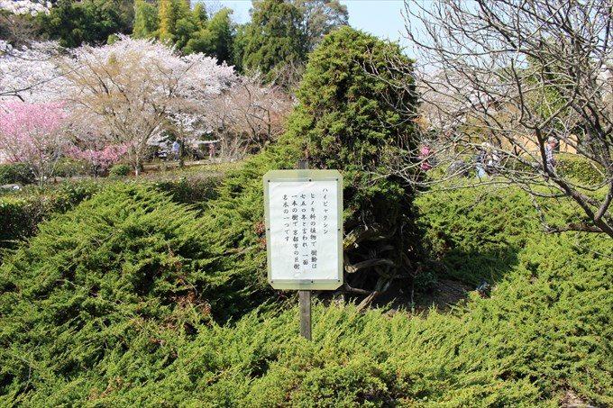 18樹齢750年のハイビャクシン