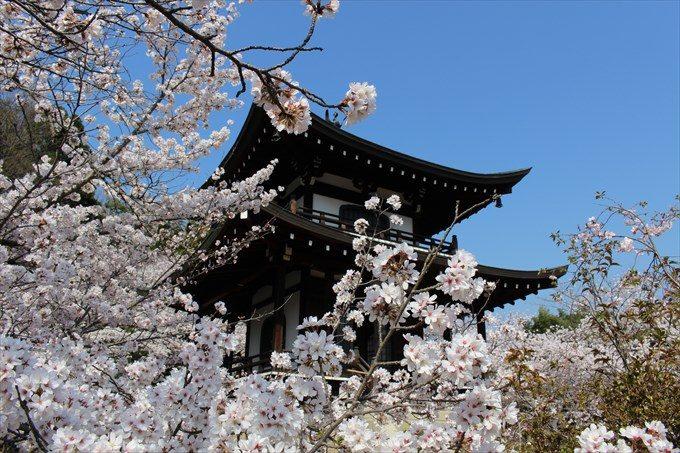 23大悲閣と桜