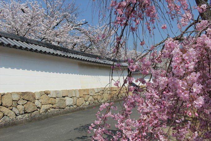 4勧修寺の枝垂れ桜とソメイヨシノ