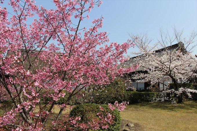53色の濃い桜(奥は宸殿)