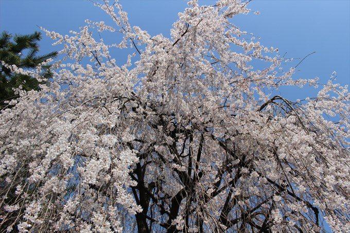 13おかめ桜を見上げる