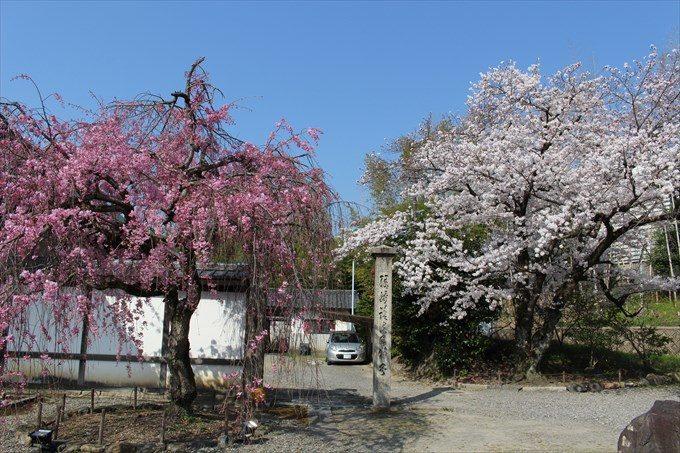 10枝垂れ桜とソメイヨシノ