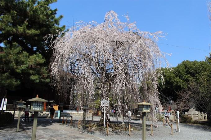 千本釈迦堂(大報恩寺)の満開おかめ桜!御朱印も頂きました♪