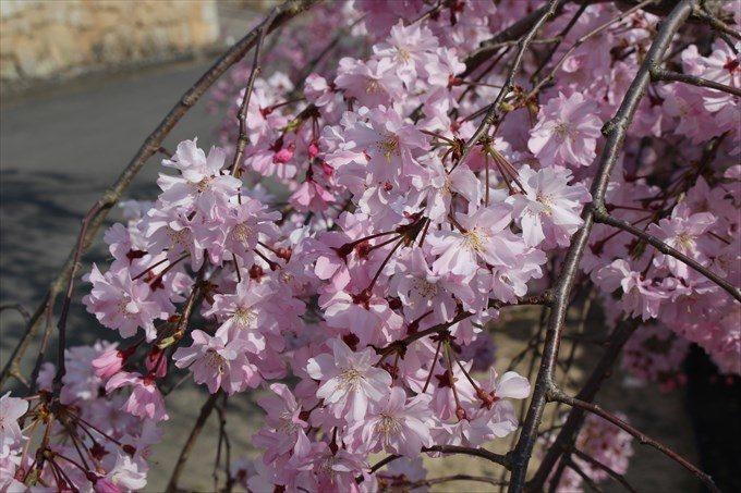 3勧修寺の参道の桜