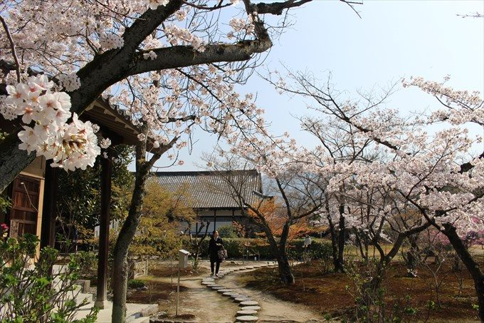 51五大堂前の桜