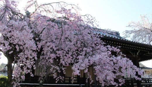 妙満寺の桜を写真でご紹介♪見頃はいつ?