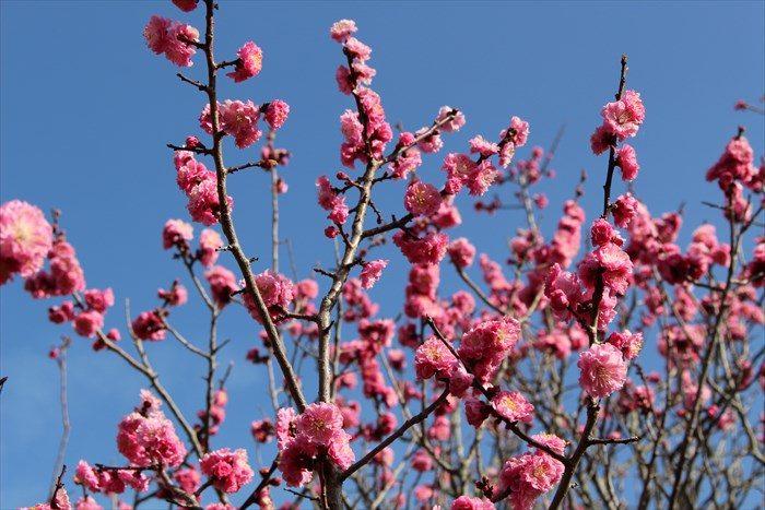 33随心院の梅の見頃(満開)