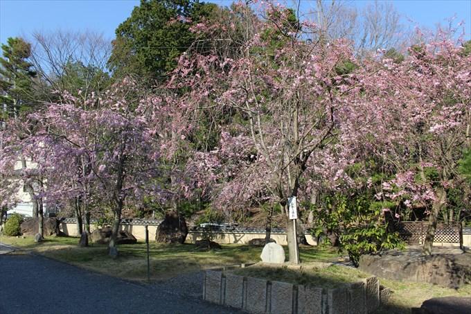 17妙満寺の桜園