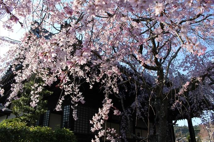 12大書院前の桜