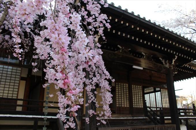 10妙満寺のしだれ桜
