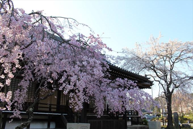 2妙満寺の大書院前の2本の桜