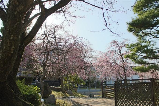 21妙満寺の桜園を道路から