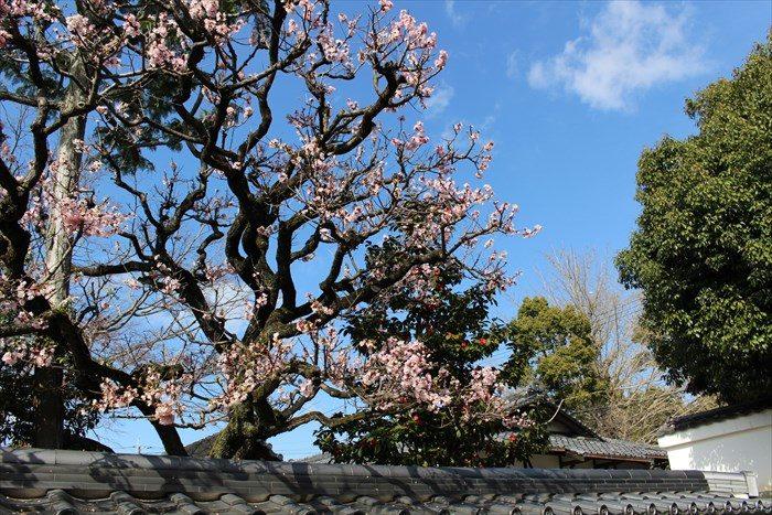 41大乗院の梅と椿