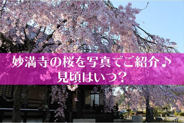 妙満寺の桜タイトル