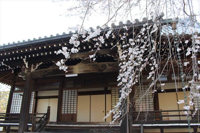 9大書院と桜