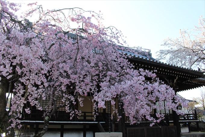 1妙満寺のしだれ桜