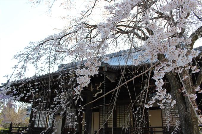 8大書院と桜