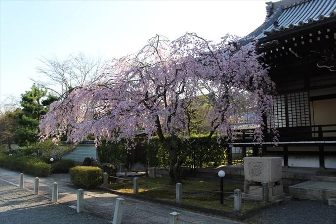 5大書院前のしだれ桜