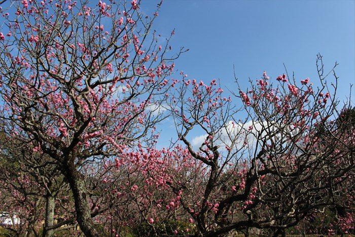 18濃い色の梅