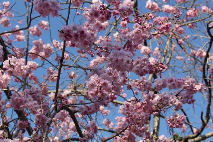 3桜のアップ