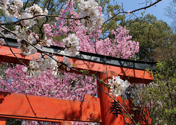 36稲荷社の鳥居と桜