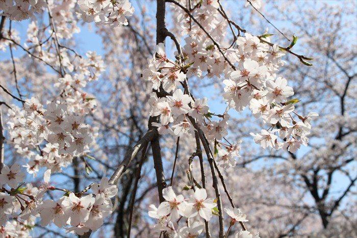 55平野神社の桜アップ