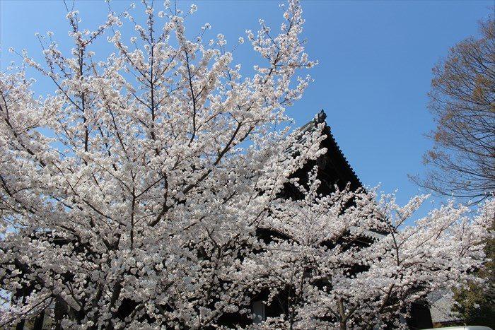 33本堂の屋根と桜