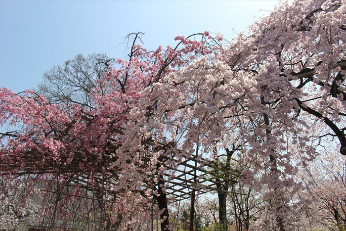 8鳥居横の枝垂れ桜2