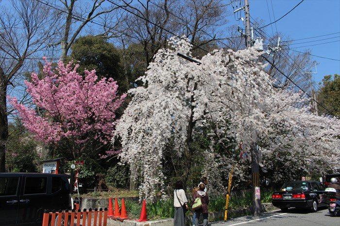 4平野神社の前の道の桜
