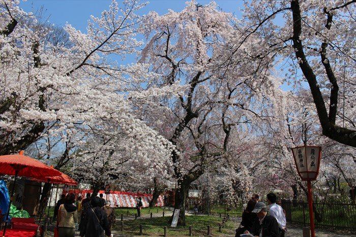 52平野神社の桜