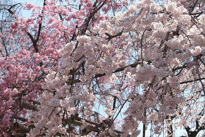 8鳥居横の枝垂れ桜アップ
