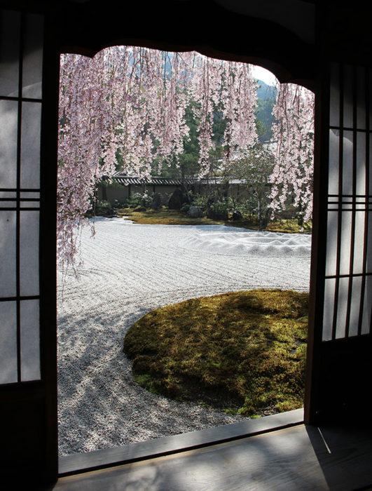 42高台寺の桜の見頃