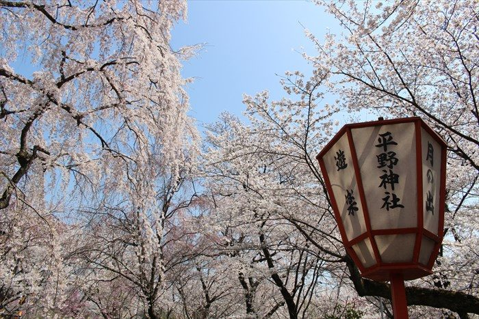 54平野神社のライトと桜