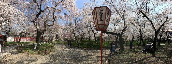 70平野神社の桜が見頃パノラマ