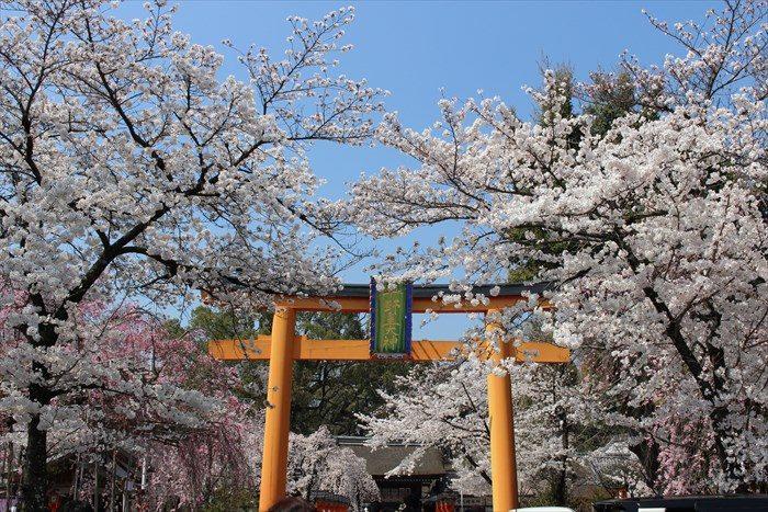 6平野神社の鳥居と満開の桜