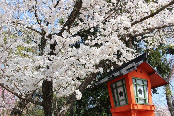 76平野神社の桜