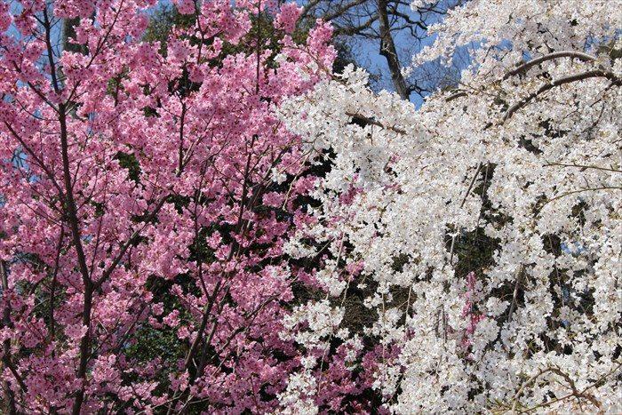 5平野神社前の2色の桜