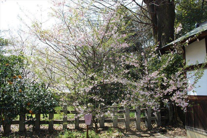 29十月桜