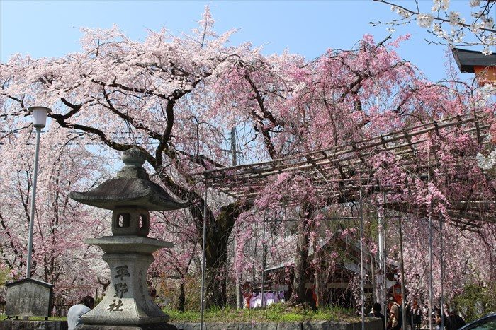 8鳥居横の枝垂れ桜