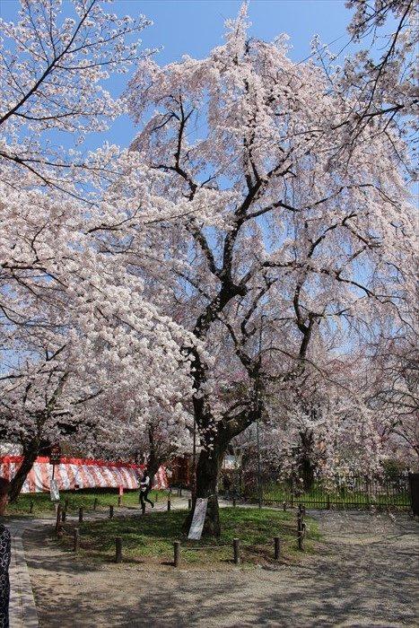 72平野神社の桜