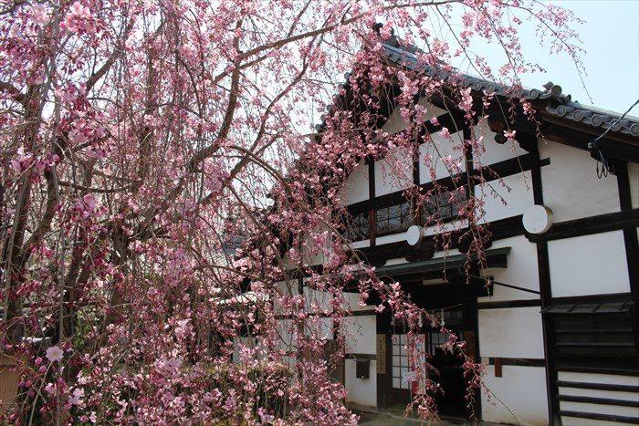 37方丈の寺務所としだれ桜