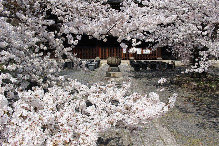 52立本寺桜が満開